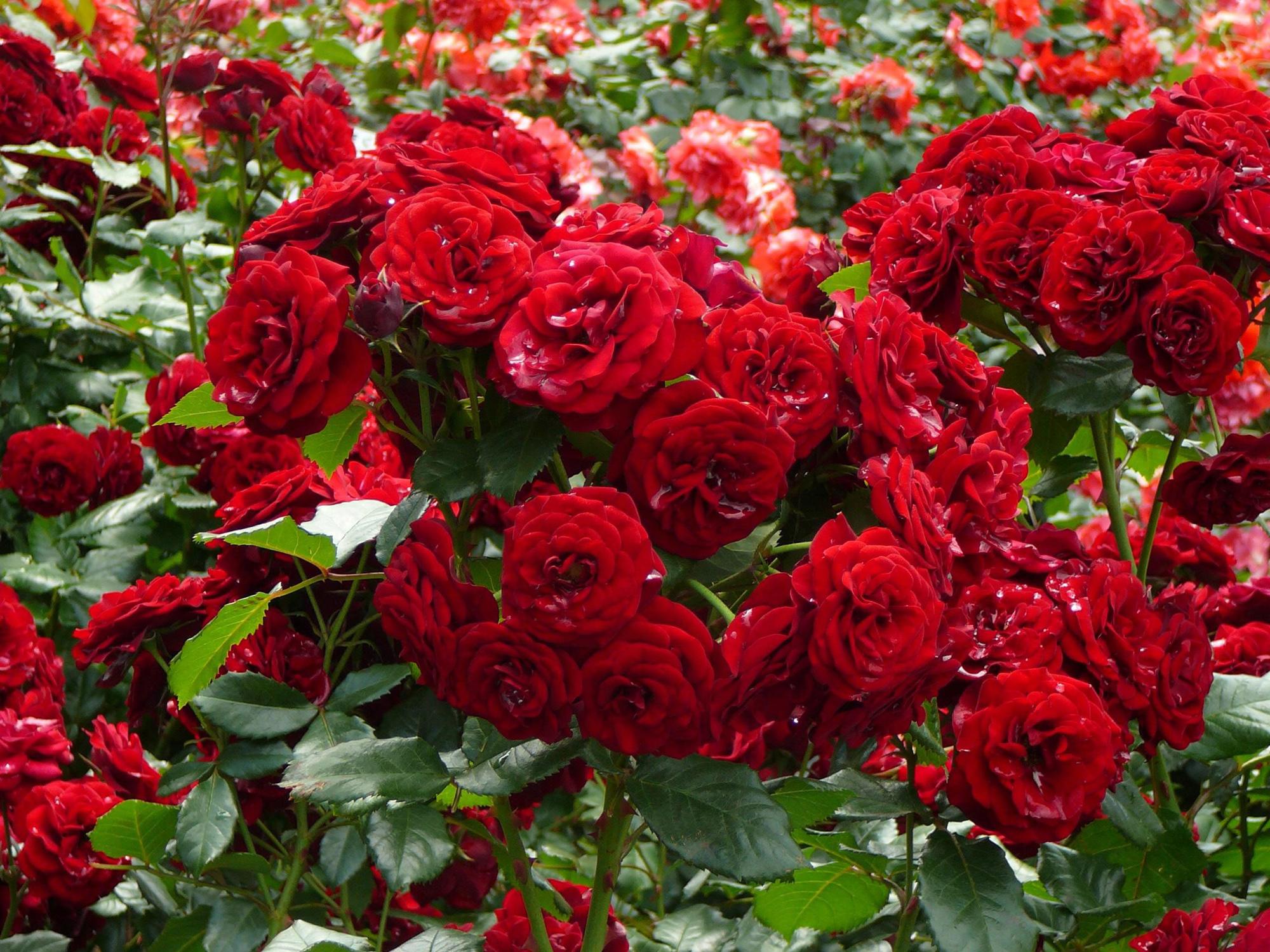 Цветы садовые кустовые